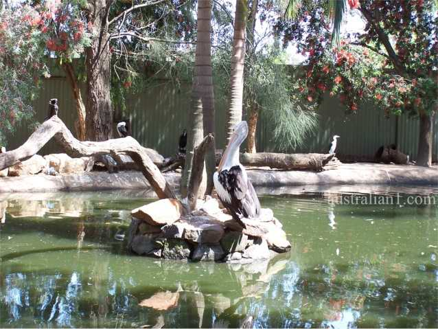 Australian Pelican Photograph