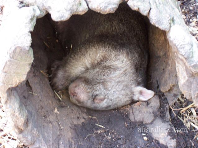 Common Wombat Photograph