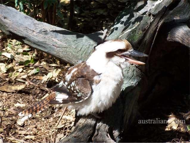 Laughing Kookaburra Photograph