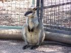 Wallaby Photograph
