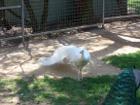 White Peafowl - Peacock