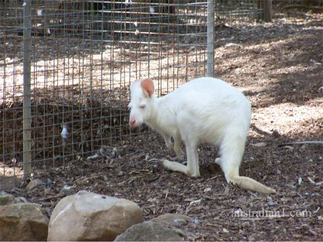 White Wallaroo Photographs, Albino Wallaroos - NSW Australia