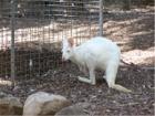 White Wallaroo Photographs, Albino Wallaroos - NSW Australia